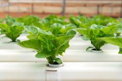 hydroponic vegetable - stock photo