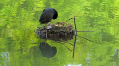 Coot Water Bird building nest nesting clutch in water idyllic - stock footage