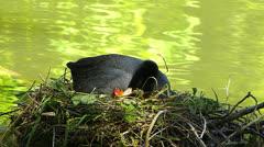 Coot duck bird feeding Chick on nest Stock Footage