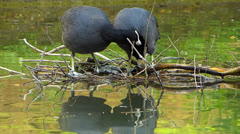 Coot Water Bird building nest in water idyllic Stock Footage