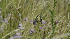 Swallotail butterfly Stock Footage