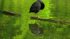 Coot Water Bird standing on wood Log idyllic Stock Footage