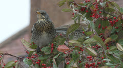 Fieldfares (Turdus pilaris) - stock footage