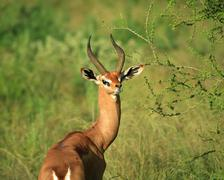 single grant's gazelle - stock photo
