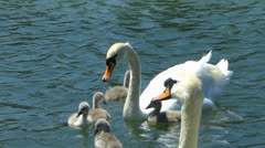 Swan Duckling family diving for weed Alge Alga in water Stock Footage