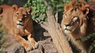 Stock Video Footage of lioness and lion