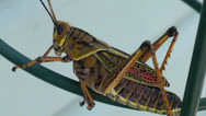 Stock Video Footage of grasshopper