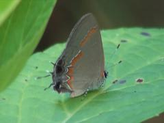 Redbanded Hairstreak Butterfly 2 Stock Footage