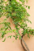 Green creeper on an exterior wall Stock Photos