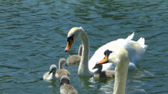 Stock Video Footage of Swan Duckling family diving for weed Alge Alga in water