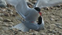 Common Tern (Sterna hirundo) mating on beach - stock footage