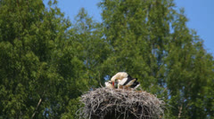 Adult white stork feeds its young in the nest, storks' family Stock Footage