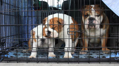 dogs breed English bulldog - stock footage