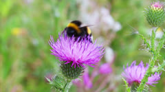 Bumble-bee on thistle flower close-up Stock Footage