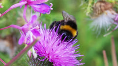 bumble-bee on thistle flower close-up macro - stock footage