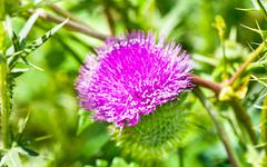 wild thistle with pink flower on green background - stock photo