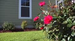Rose Bush in backyard, handheld Stock Footage