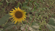 Stock Video Footage of Sunflower1