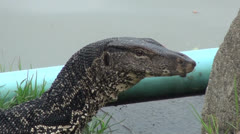 Close-up of a Monitor Lizards head Stock Footage