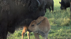 Bison and calf1 - stock footage