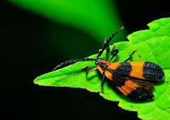 Net-winged beetle Stock Photos
