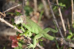 Green iguana panama city central america Stock Photos