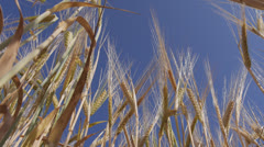 Barley against blue sky - stock footage