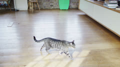 Cute tabby cat goes exploring at home. No people. Stock Footage