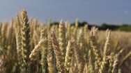 Stock Video Footage of Pan over ripening wheat
