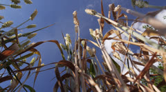 Wheat from below - stock footage