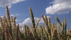 Wheat stalks sway in breeze Stock Footage