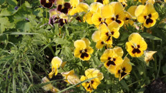 Yellow viola 6526 Stock Footage