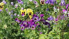 Assortment of Pansies (Viola tricolor hortensis) 6524 Stock Footage