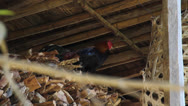 Stock Video Footage of Rooster Crowing Farm