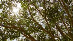 video 1920x1080 - sacred bodhi tree. sri lanka, anuradhapura - stock footage