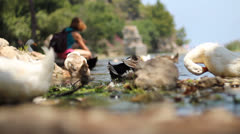 Gooses on Water Stock Footage