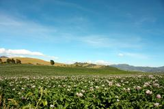 fields planted with potatoes in bloom. - stock photo