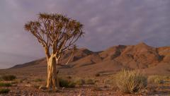 Time lapse dolly shot on ancient quiver tree at dawn Stock Footage
