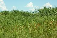 Stock Photo of thick overgrown cane