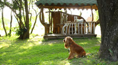 Cute little dog sitting alone in the countryside, English Cocker Spaniel Stock Footage