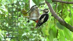 Wildlife Garden Birds Feeding on Nuts Stock Footage