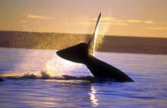 Austral whale tail argentina south america Stock Photos