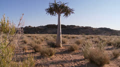 Dolley motion shot of a quiver tree near Namibian border Stock Footage