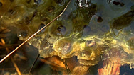 Stock Video Footage of Frog spawn is floating in a pond