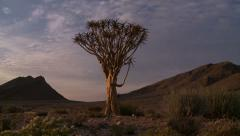 Quiver tree time lapse and dolley shot at sunrise - stock footage