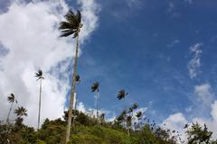 Cocora valley and wax palm Stock Photos