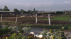 Cow farm view Stock Footage