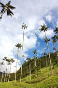 cocora walley and wax palm - stock photo