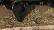 Stock Video Footage of Cows on Farm