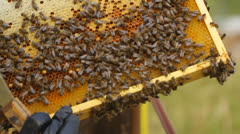 Putting the honeycomb with honey bees back into the hive, camera movement Stock Footage